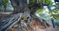 chestnut tree ronda